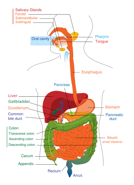 digestive system overview. Black Bedroom Furniture Sets. Home Design Ideas